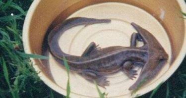 Amphibien de Malaisie